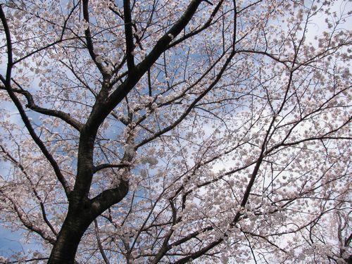 54の桜.jpg