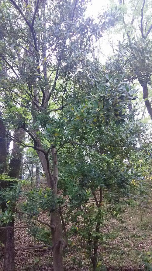 モチノキ樹形.jpg