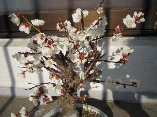 鉢植えの梅.jpg