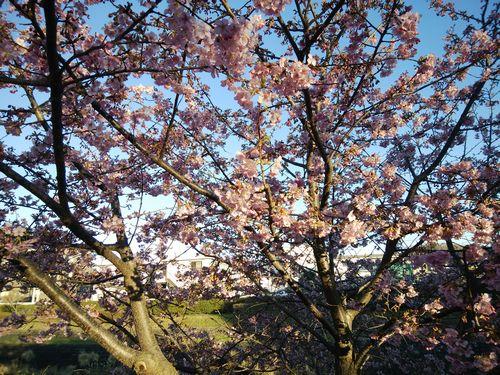 2019早咲き桜.jpg
