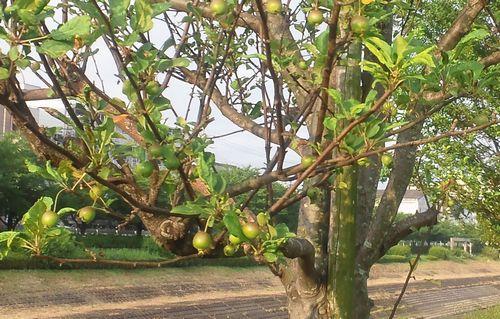 ヒメリンゴ 20110725.jpg