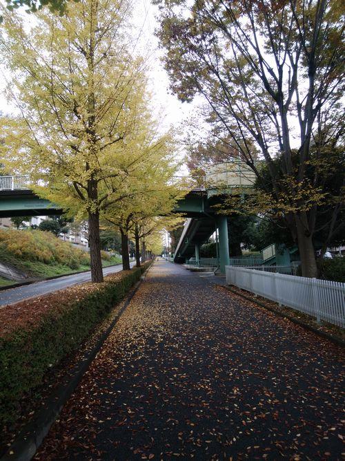 松が谷高校坂イチョウ.jpg